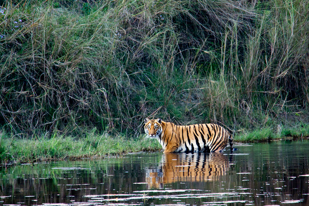 A Bengal tiger in Bardia National Park in Nepal