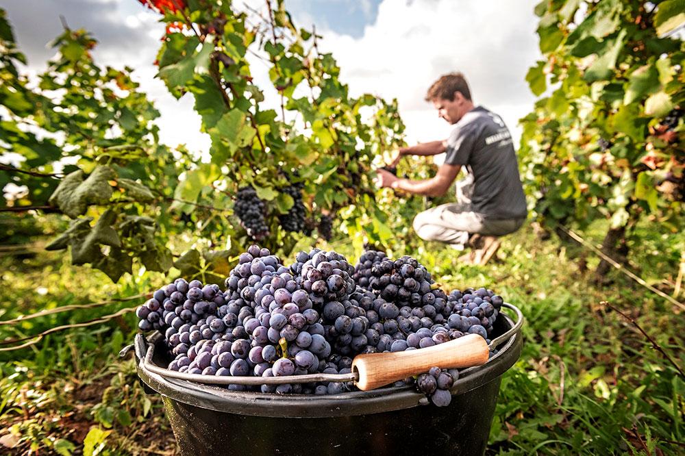 The vineyards at Billecart-Salmon in Mareuil-sur-Ay