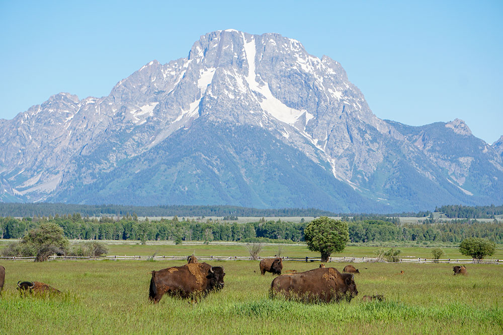 View of bison grazing in Grand Teton National Park