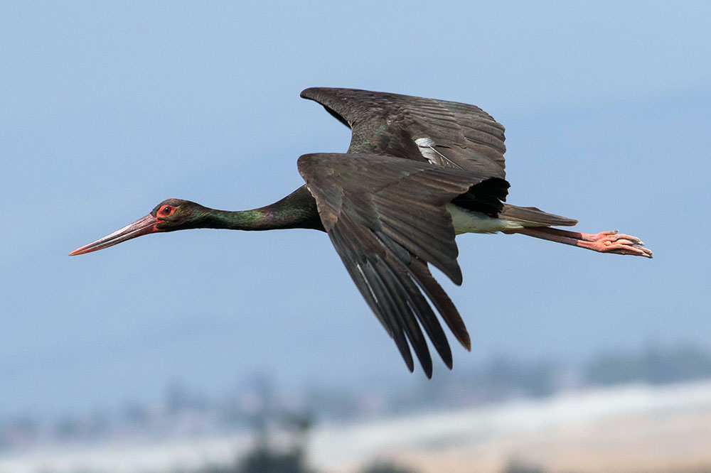 A black stork near Hacienda de San Rafael in Seville, Spain