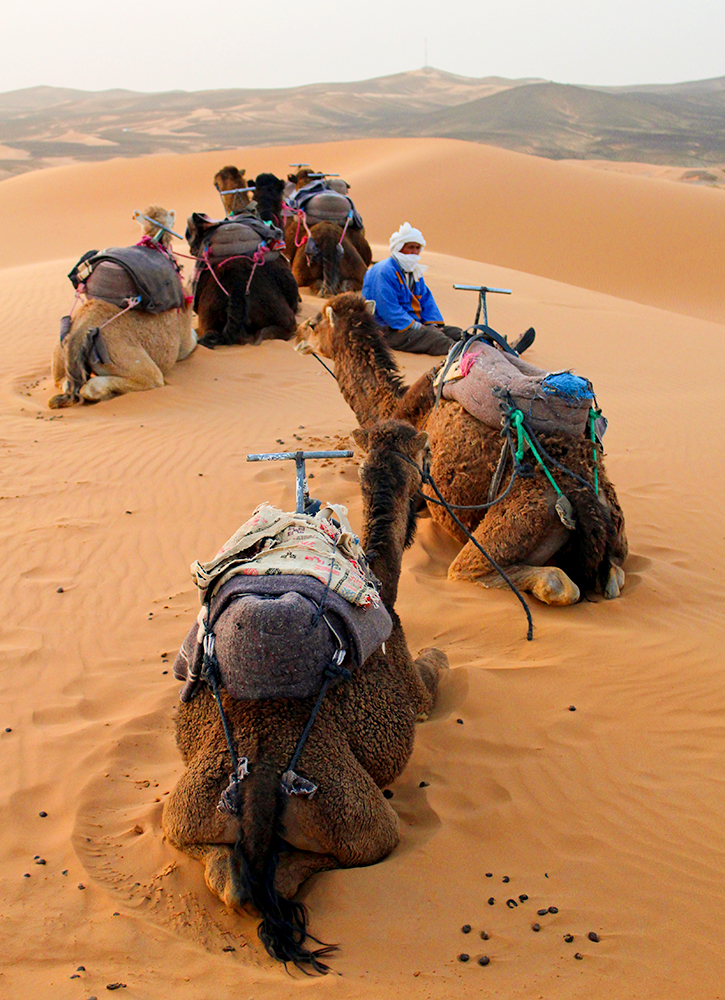 Camels resting in the Sahara