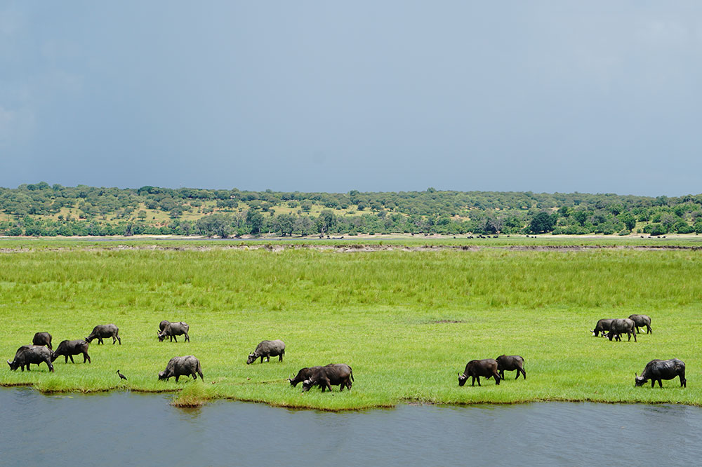 A herd of grazing Cape buffalo