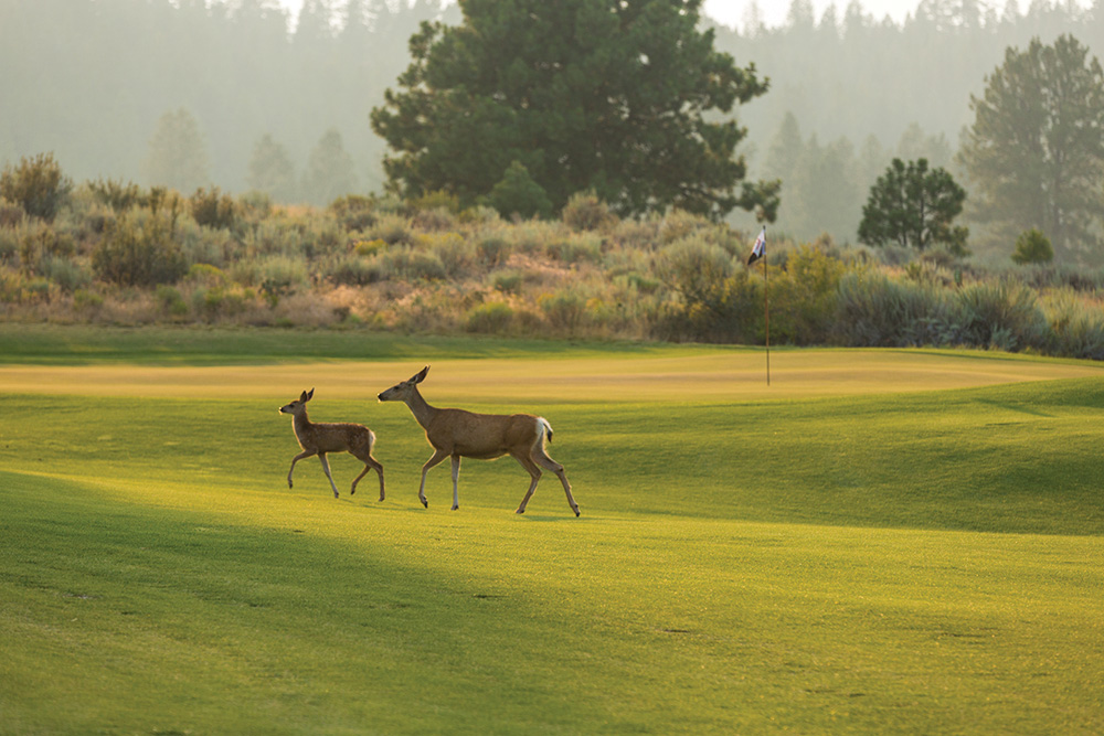 Whitetail deer on Silvies Valley Ranch golf course