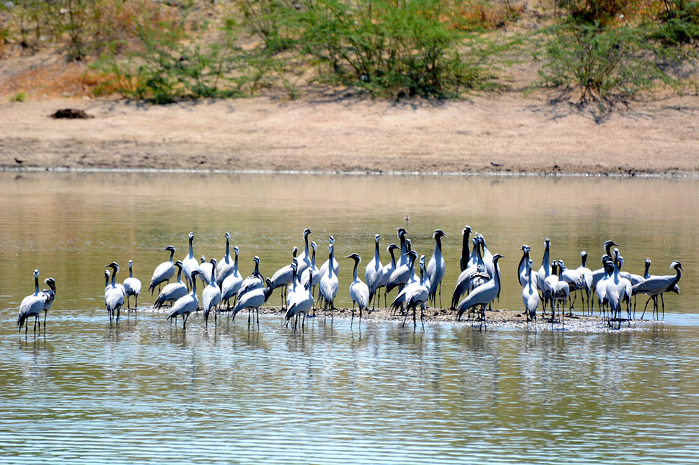 Demoiselle cranes near Mihir Garh in Rajasthan, India