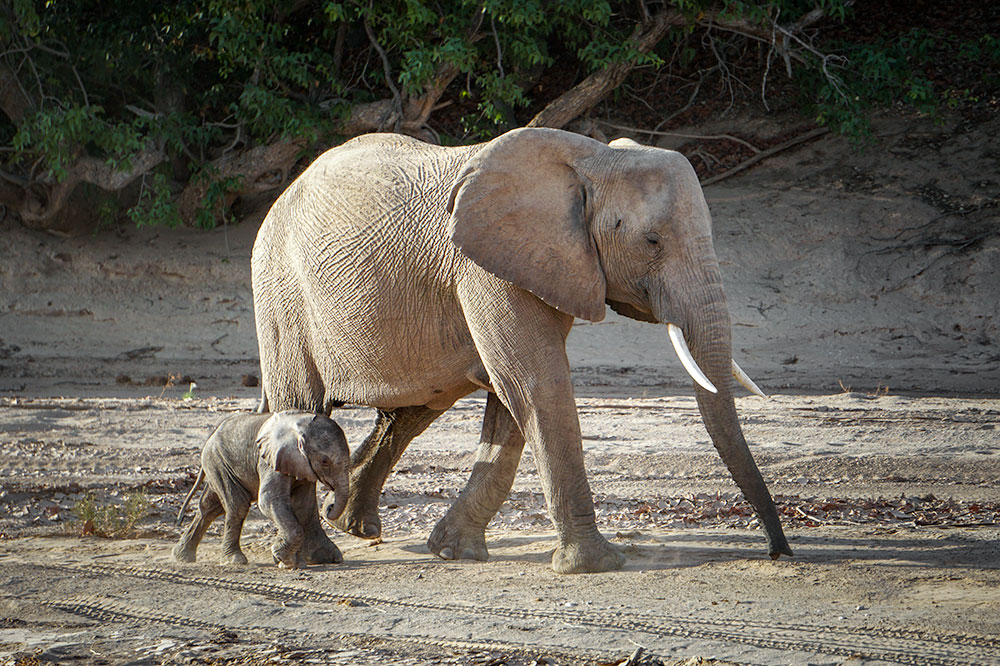 An elephant mother with her week-old baby in the Hoanib Valley