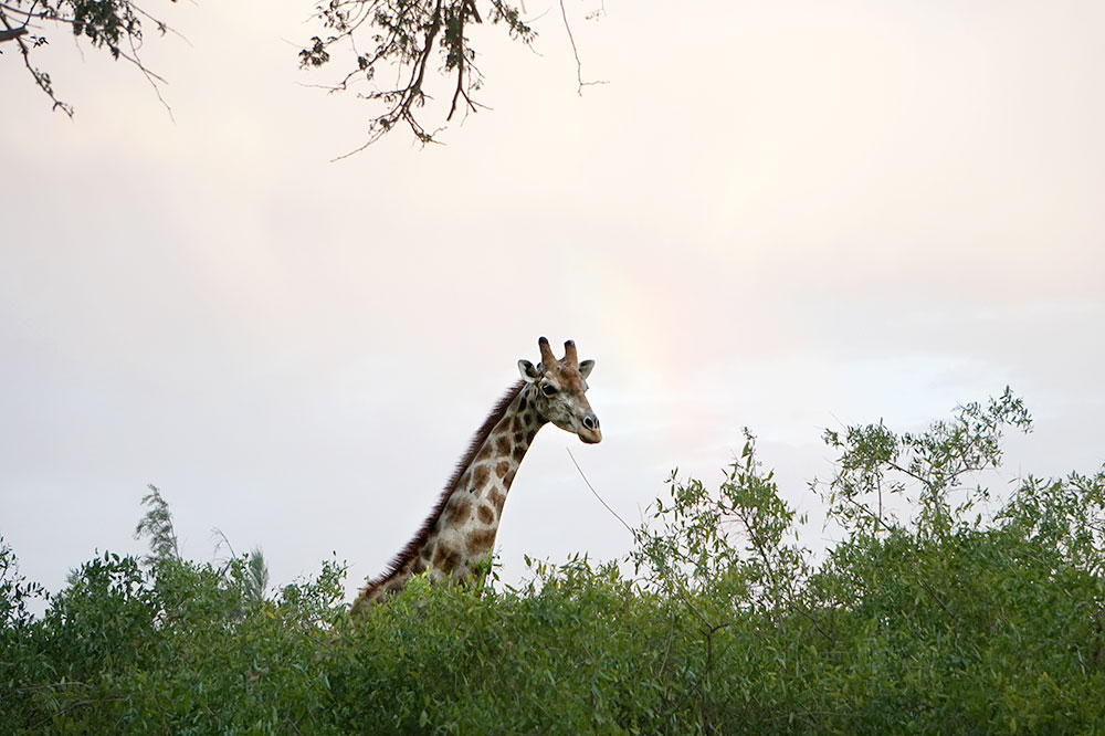 A giraffe seen on our sundowner drive with Hoanib Valley Camp in the Hoanib Valley, Namibia