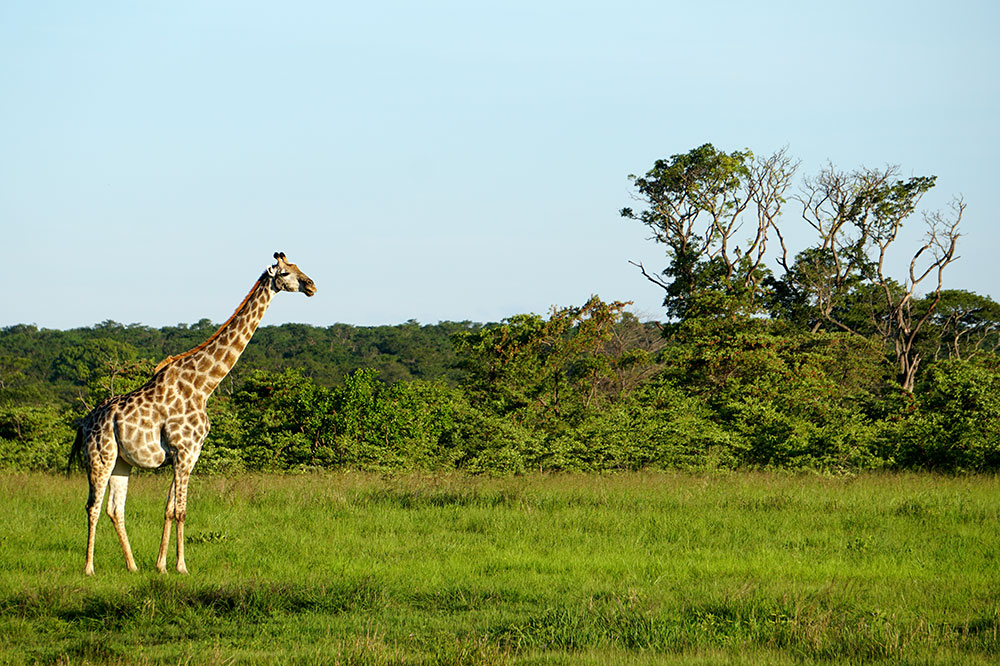 A giraffe in Zambezi National Park