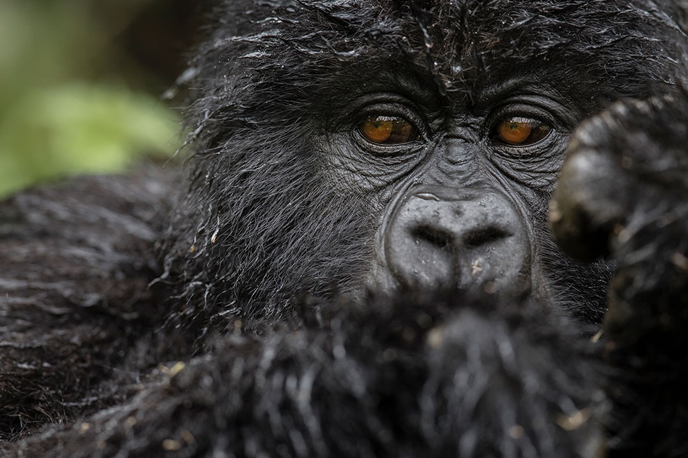 A gorilla seen at Singita Kwitonda Lodge in Rwanda