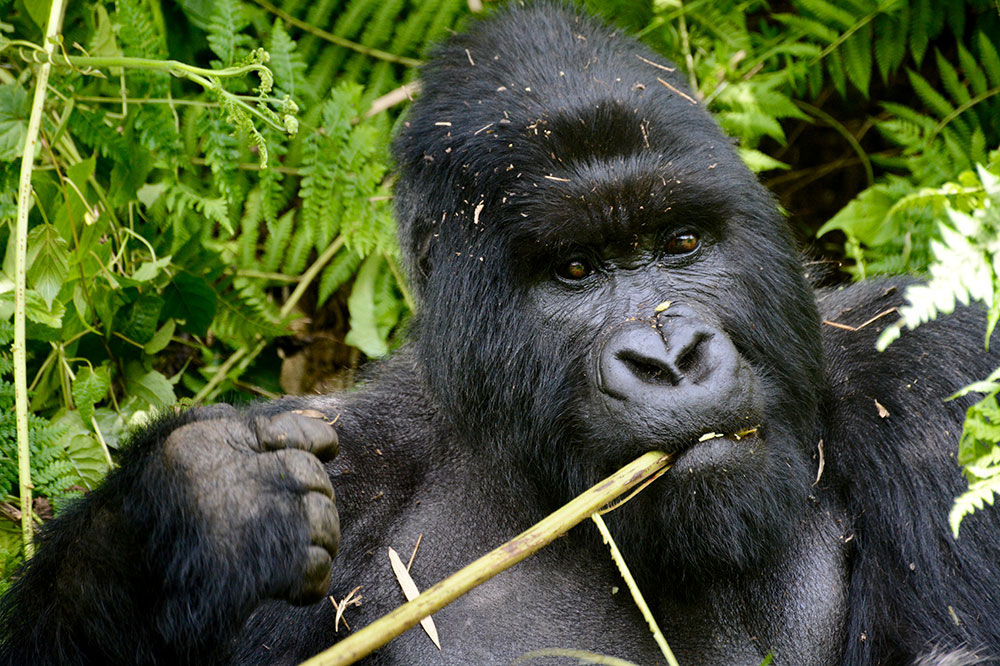 A gorilla in Volcanoes National Park in Rwanda