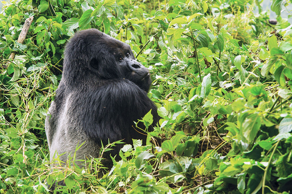 A gorilla seen while on a wilderness safari at Bisate Lodge in Rwanda