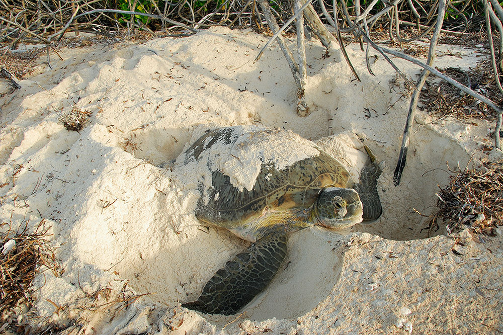 A green turtle nesting near North Island in the Seychelles