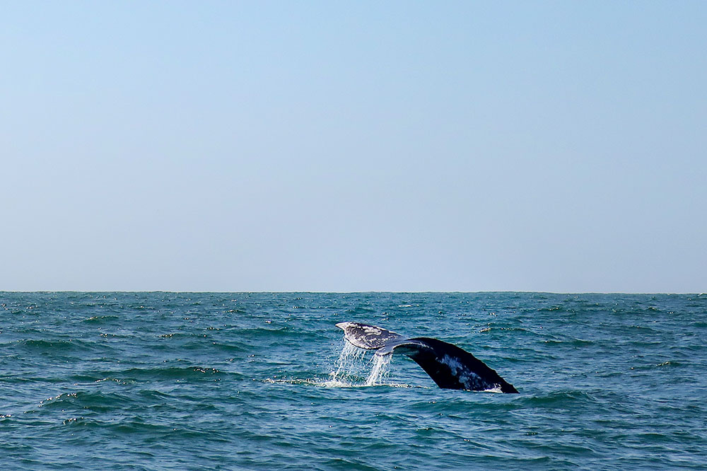 A grey whale tail seen on the Newport Landing Ultimate Whale Watching Adventure in Newport Beach
