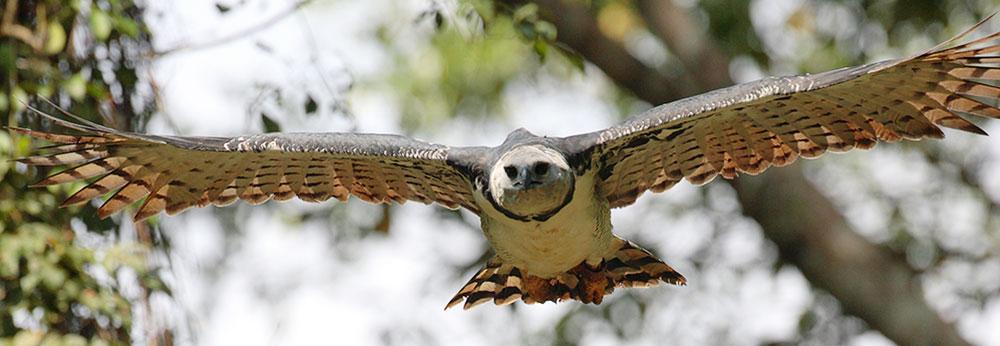 A harpy eagle near Lapa Rios in Puerto Jiménez, Costa Rica