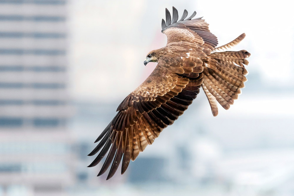 "The ""black kite,"" a thieving raptor common to the Kyoto area"
