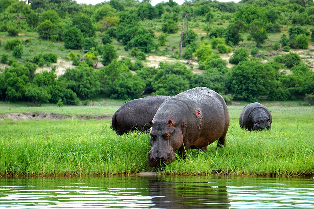 An injured hippo on the Caprivi Strip