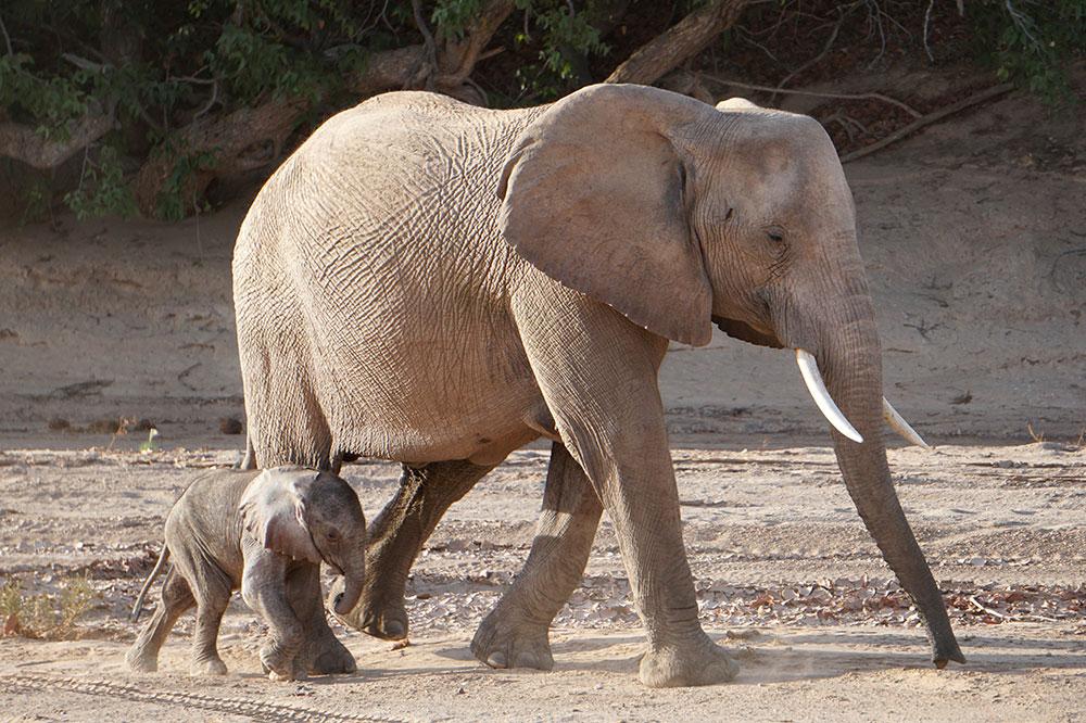 An elephant with her five-day-old baby in the Hoanib Valley