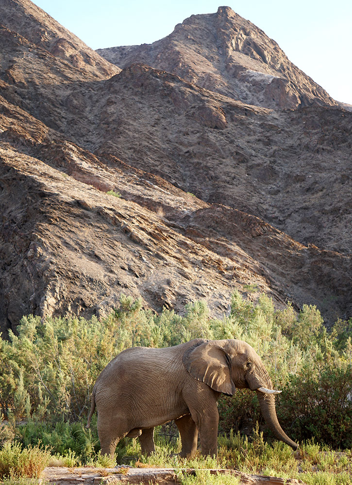 Oliver the elephant, seen during a sundowner game drive in the Hoanib Valley