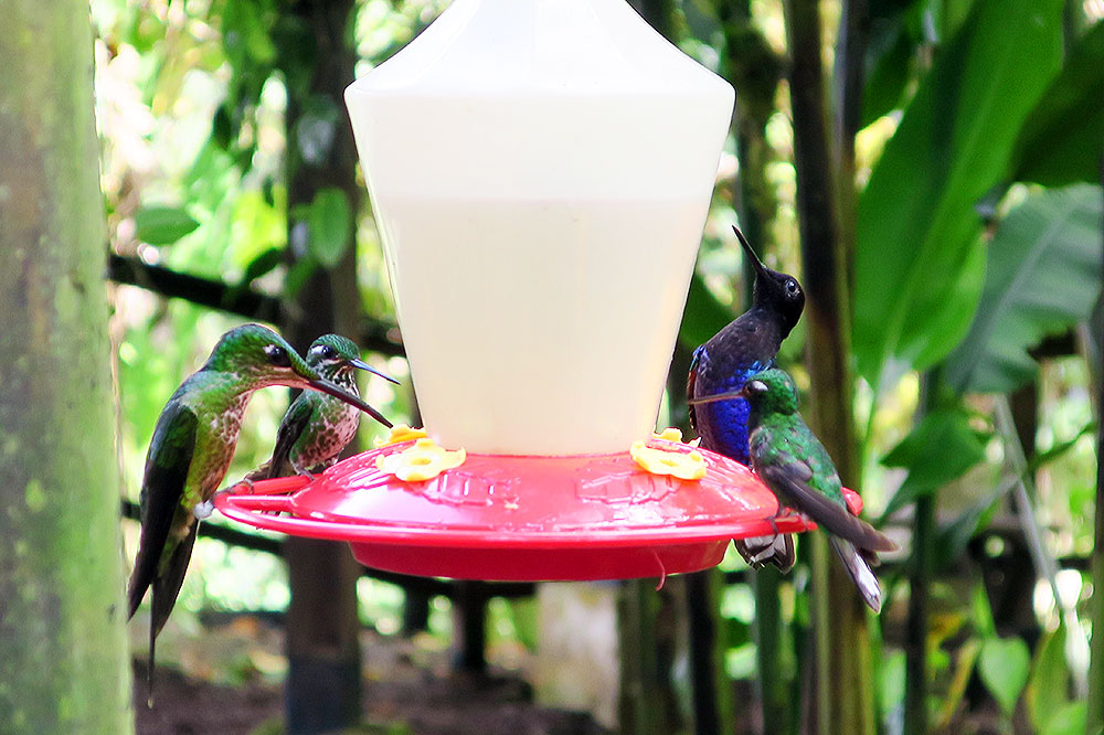 Hummingbirds near Mashpi Lodge in Calacali, Ecuador
