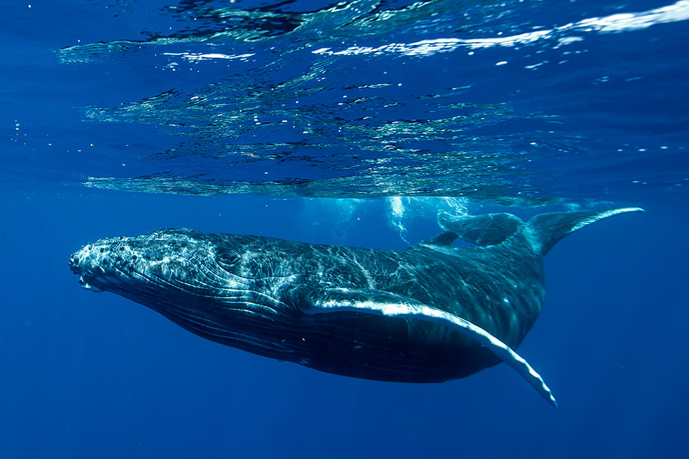 Humpback whale near Tahiti in French Polynesia