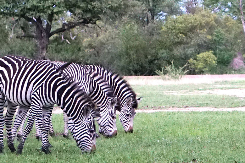 Zebras grazing in the fields of Mosi-oa-Tunya National Park