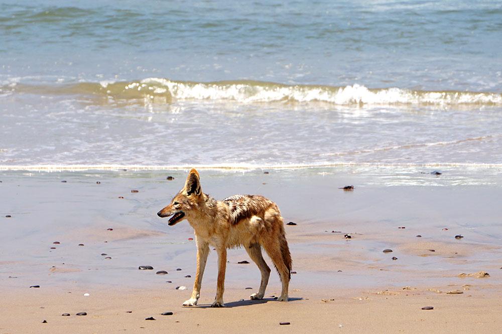 A jackal on the beach along the Skeleton Coast