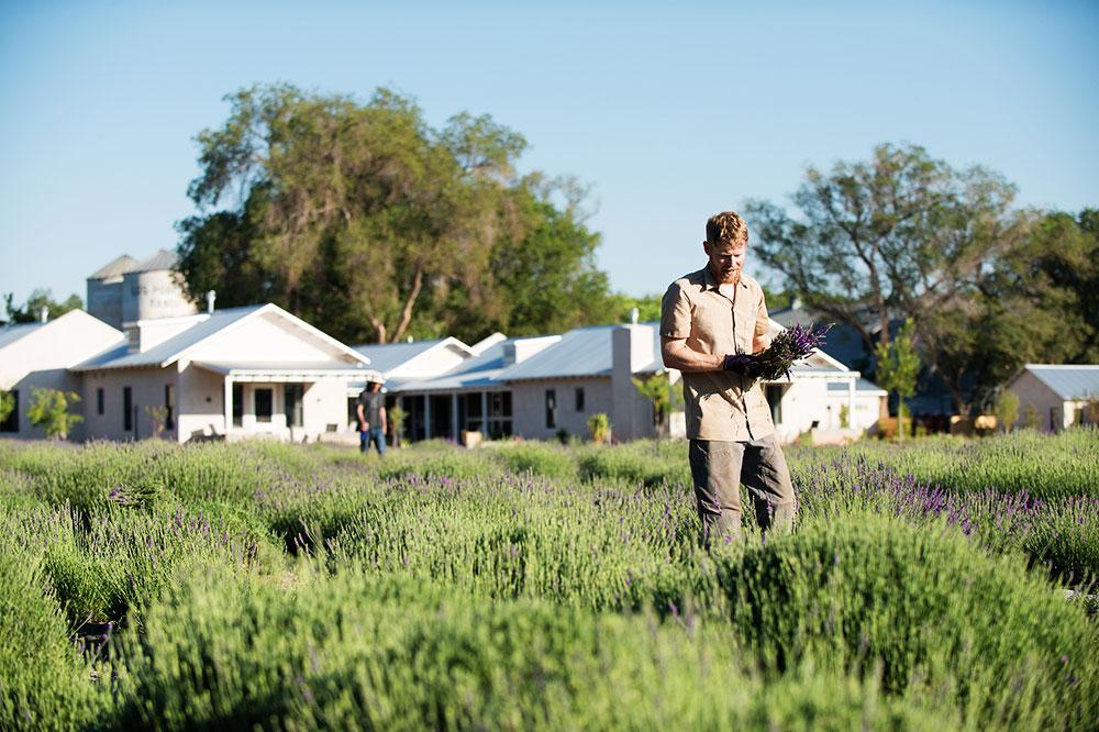 Lavender harvest at Los Poblanos Historic Inn & Organic Farm