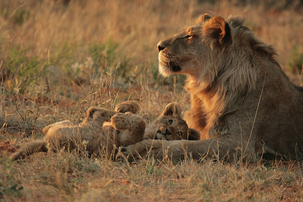 Lion and cubs at Tswalu Kalahari in Kuruman, South Africa