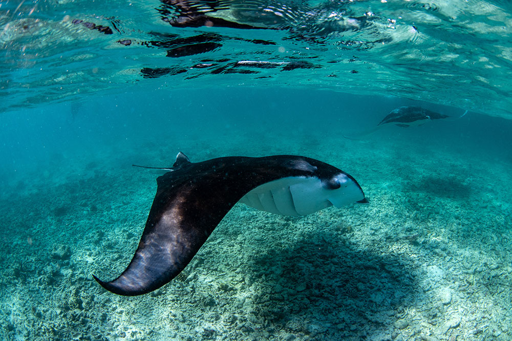 Manta ray in Hanifaru Bay