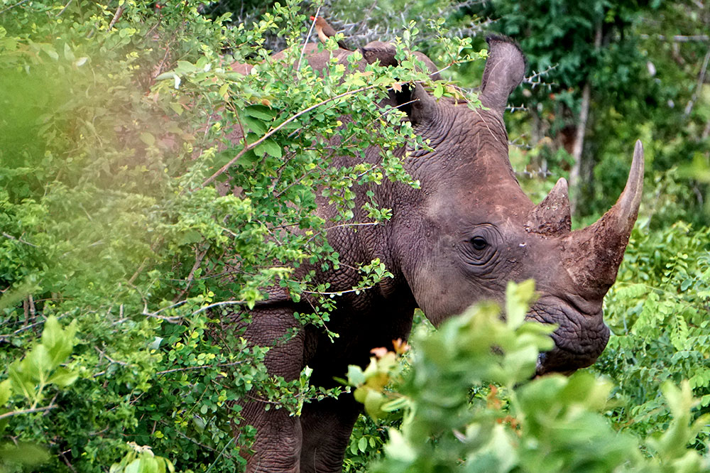 A rhino peeking out of the brush in Mosi-oa-Tunya National Park