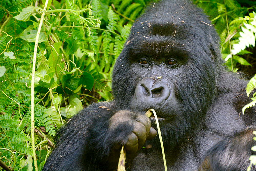 A member of the Agashya group chewing on a stick of wild celery in Volcanoes National Park in Rwanda, Africa