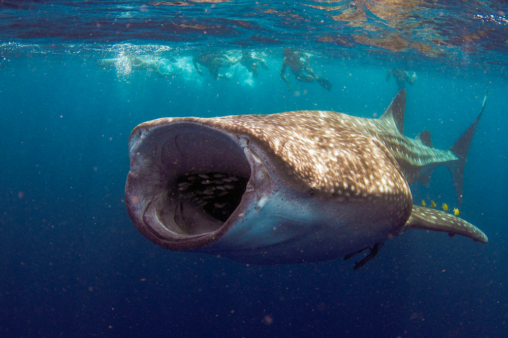 Divers swim with a whale shark at Ningaloo Reef in Western Australia