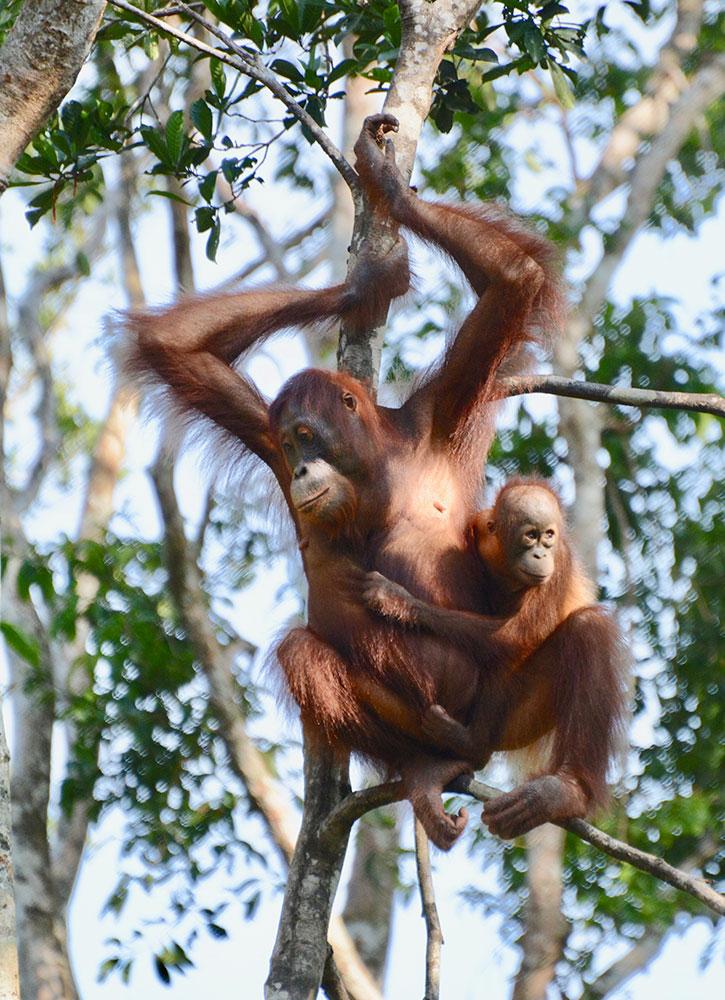 Orangutans at Camp Leakey in Tanjung Puting National Park in Kalimantan, Indonesia