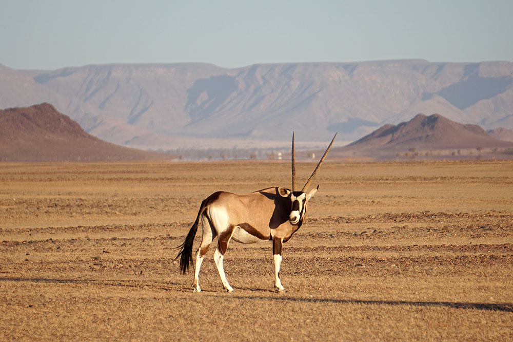 An oryx seen on our sundowner game drive with Little Kulala on the Kulala Wilderness Reserve