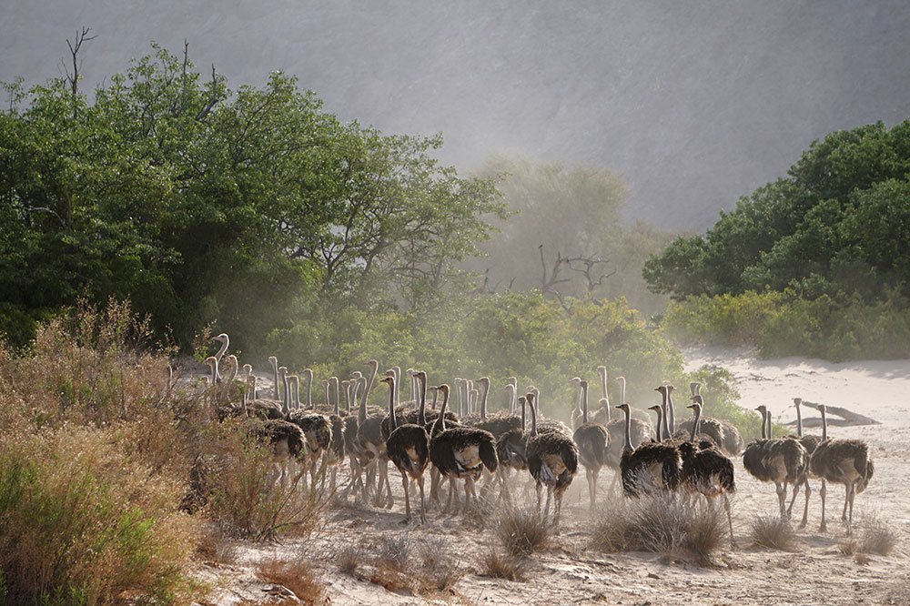 A flock of young ostriches in the Hoanib Valley