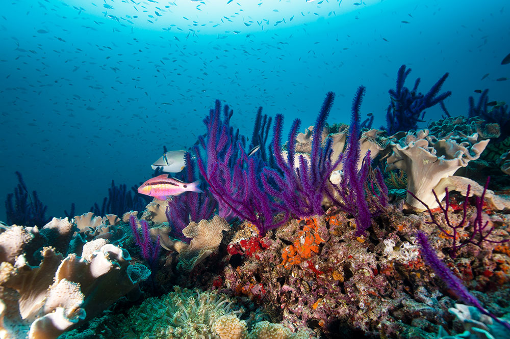 Pink Goat Fish and the coral reef in Oman