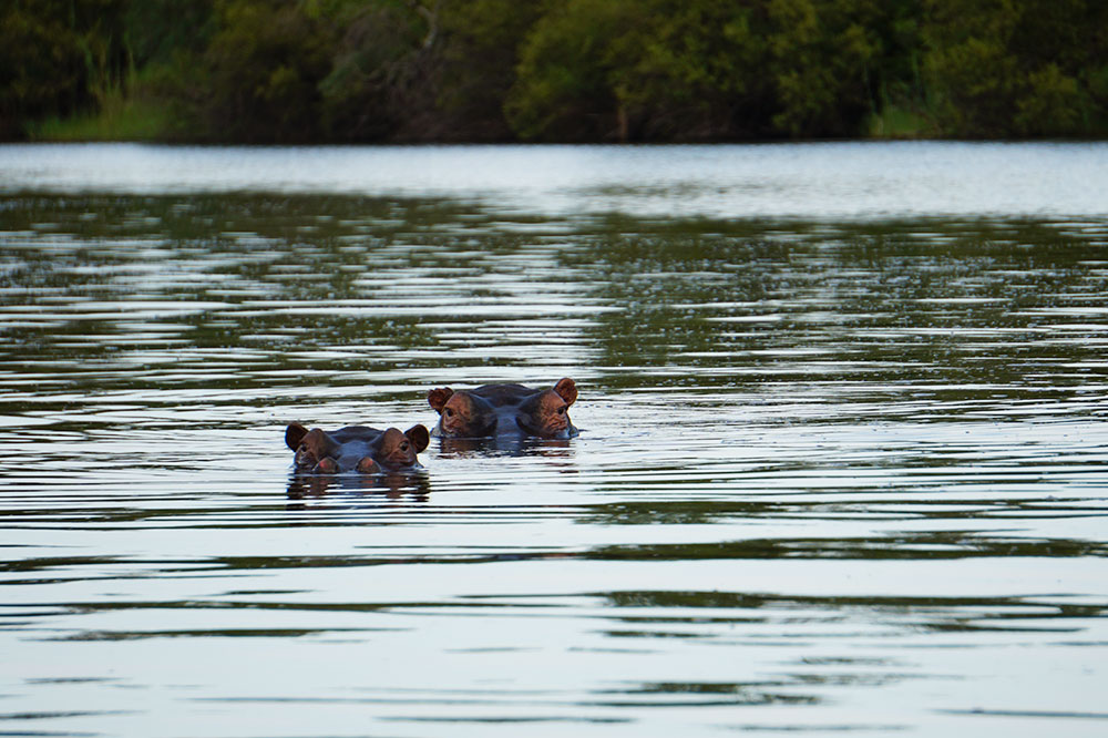 Hippos seen on our sundowner cruise with Toka Leya