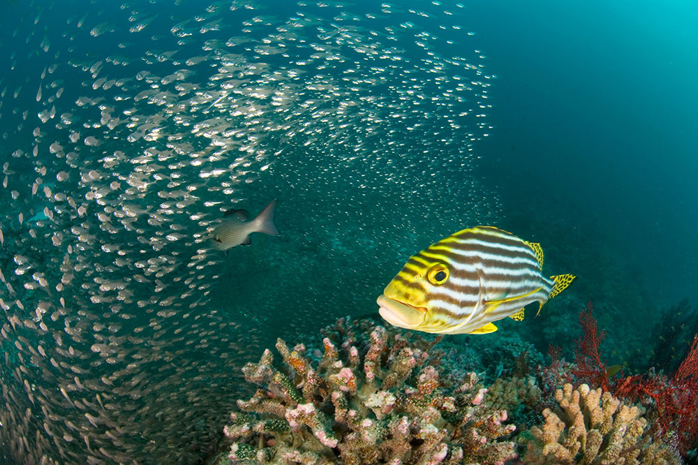 Sweetlips fish swims past a shoal of glassfish near Desroches Island