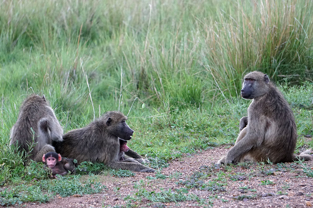A troop of baboons in Mosi-oa-Tunya National Park