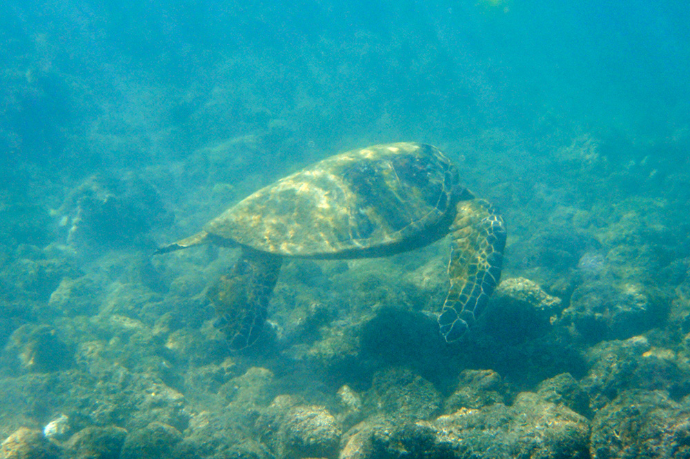 Snorkeling with a green sea turtle