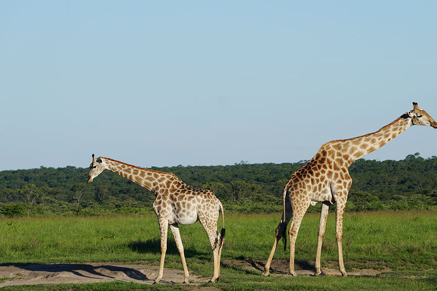 Giraffe in Zambezi National Park in Zimbabwe