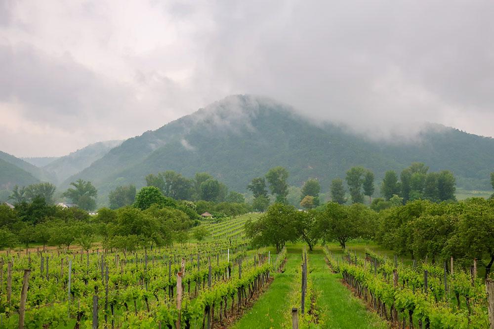 The vineyard at Domäne Wachau in Dürnstein