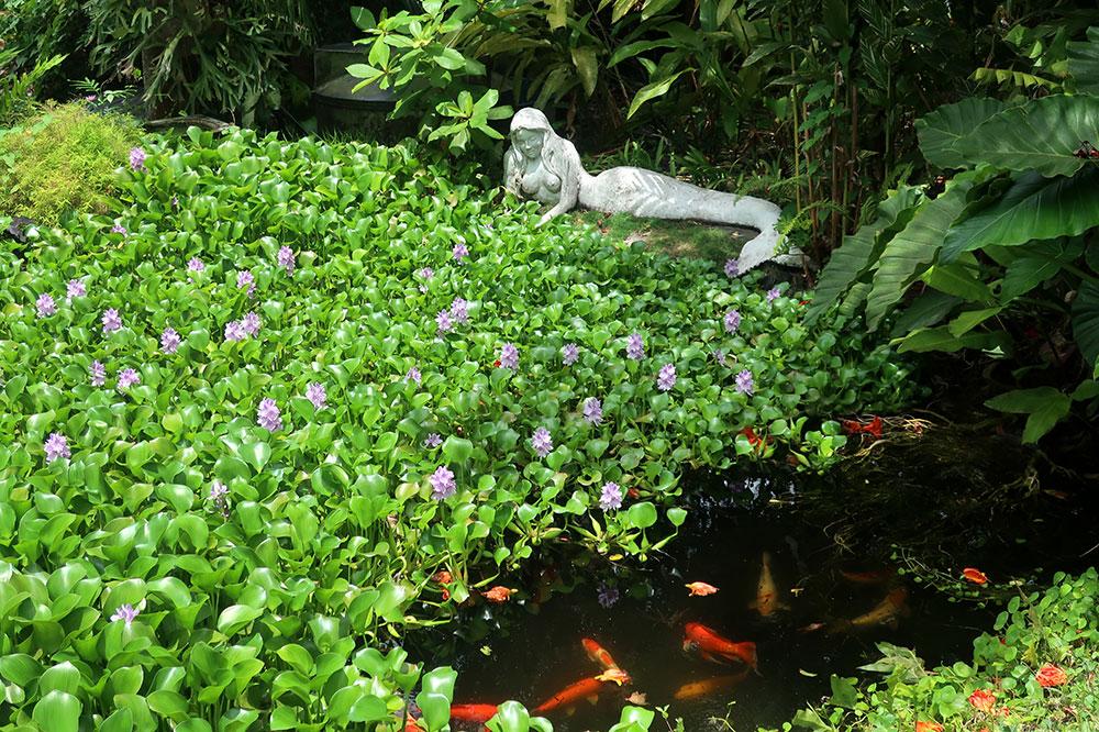 The water garden filled with koi at Sunnyside Garden