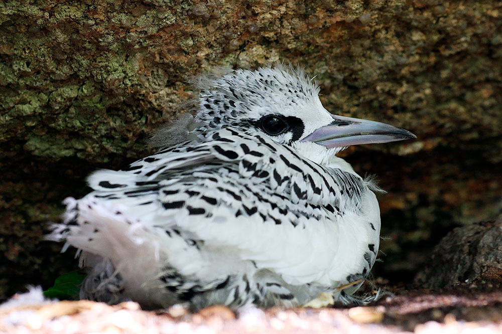 White-tailed tropicbird chick of Cousine Island, Seychelles