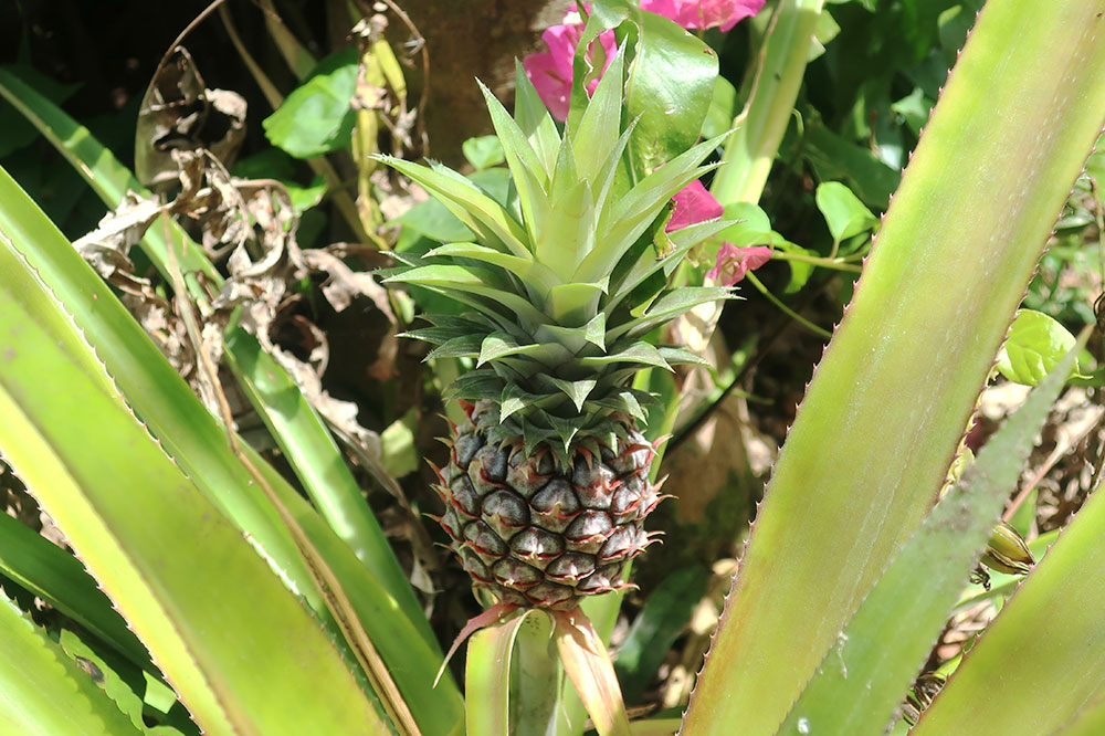 A wild pineapple growing at the Tower Estate