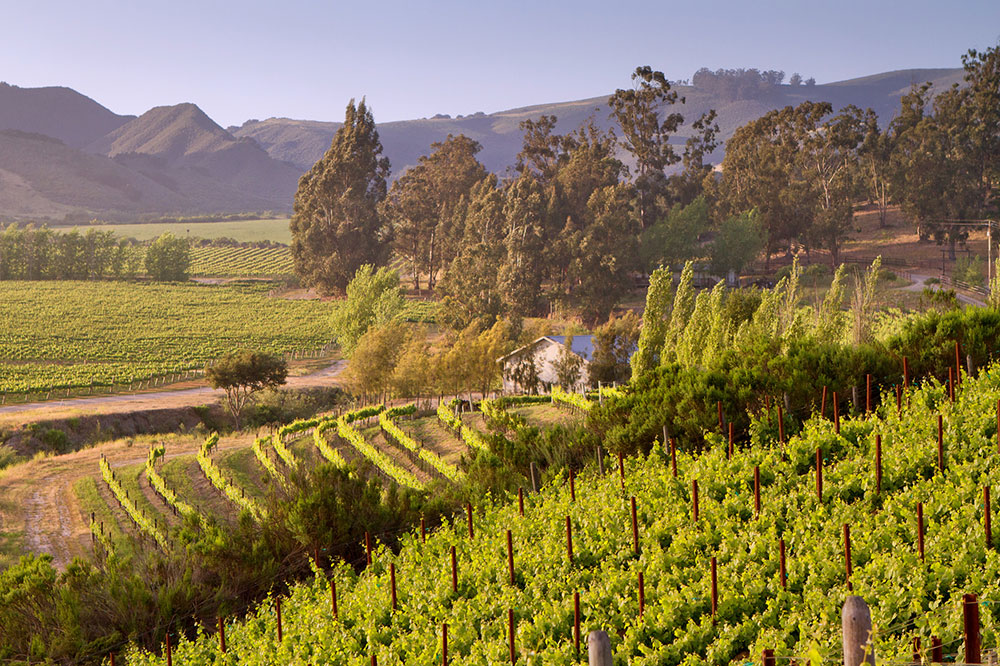 The vineyards at Melville Winery