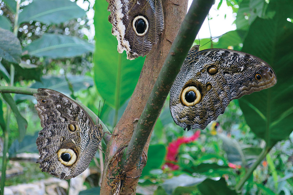 Yellow-edged giant owl butterflies near Mashpi Lodge in Ecuador