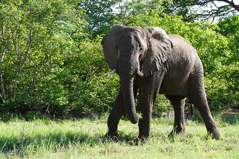 An elephant in Zambezi National Park