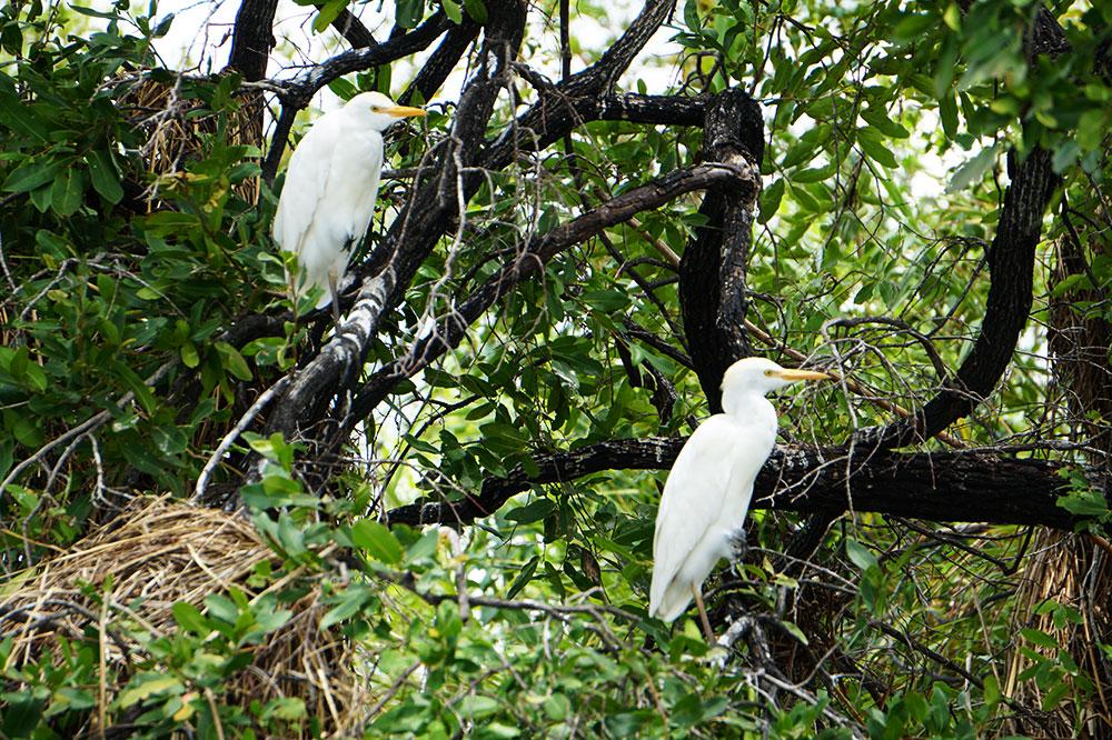 Cattle egrets seen from the <em>Zambezi Queen</em> along the Chobe River