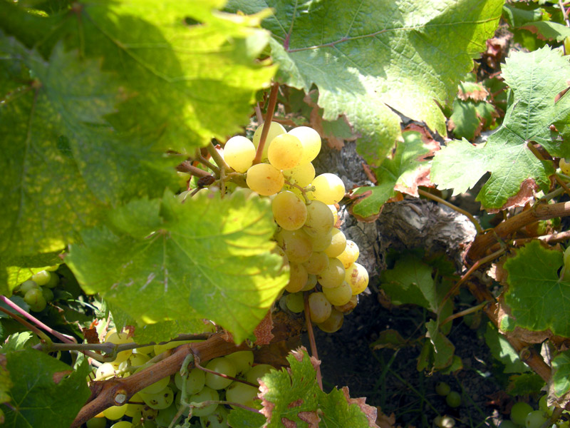 Zibibbo grapes grown at Donnafugata vineyard on Pantelleria
