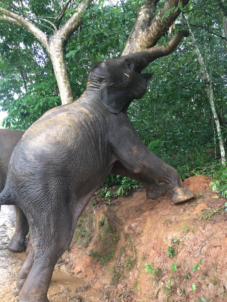 """One of the baby elephants stretching to eat leaves on our """"Walking With Giants"""" tour at the Anantara Golden Triangle Elephant Camp & Resort"""